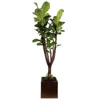 떡갈고무나무(특)